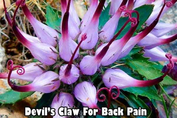 Devil's Claw for lower back pain