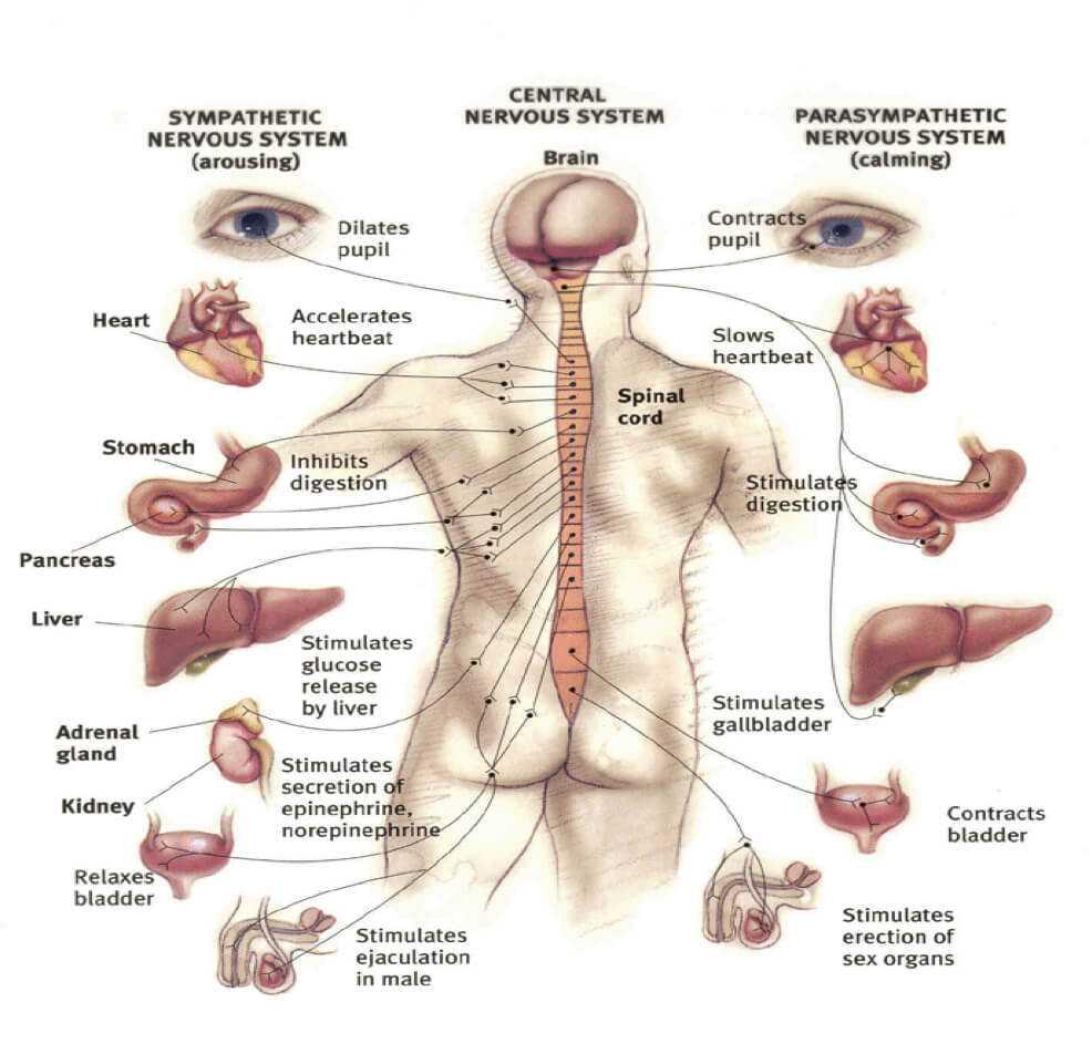 autonomic nervous system and acupuncture charts