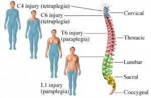 Spinal verbae