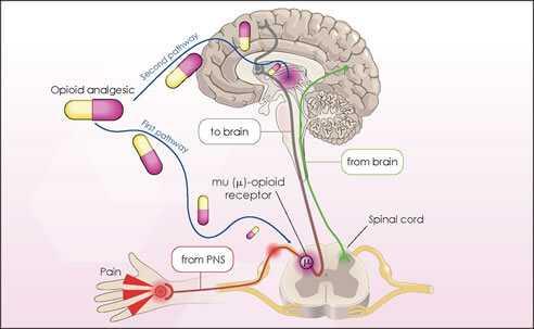 The Mechanisms Of Opiate Pain Relief