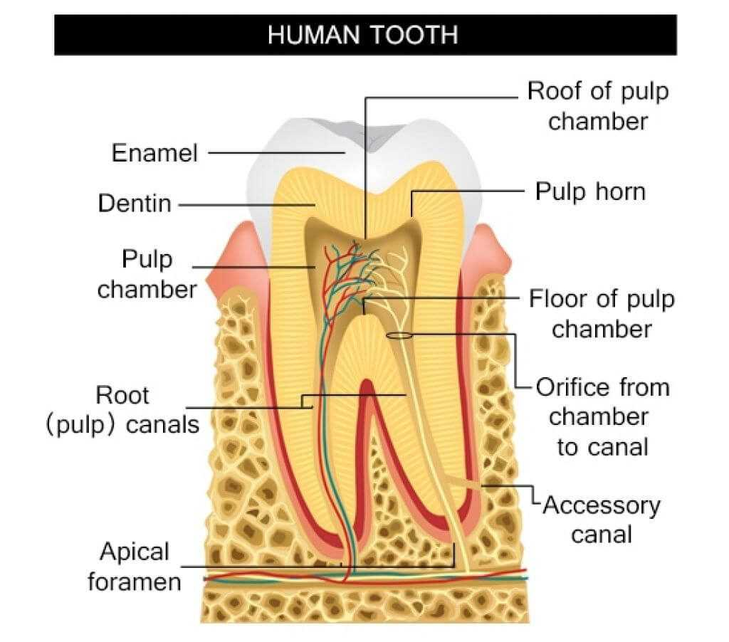 anatomy of a human tooth structure