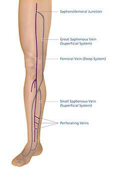THE VENOUS SYSTEM