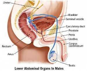 lower abdominal organs in males