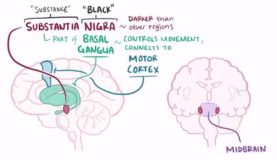 motor cortex midbrain