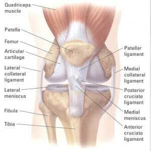 THE ANATOMY AND PHYSIOLOGY OF THE KNEE