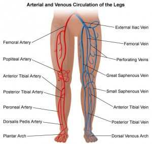 A Brief Review of the Anatomy and Physiology of Arterial Disease of the Legs