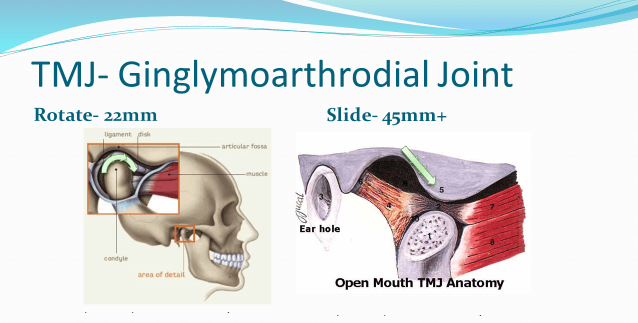 ginglymoarthrodial joint