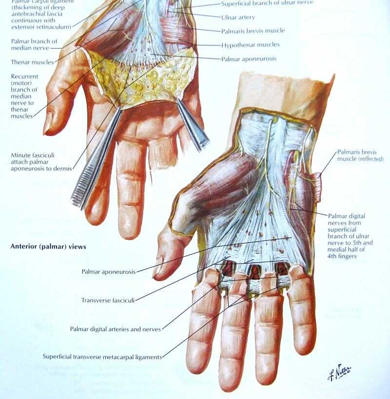 physiology of the hand