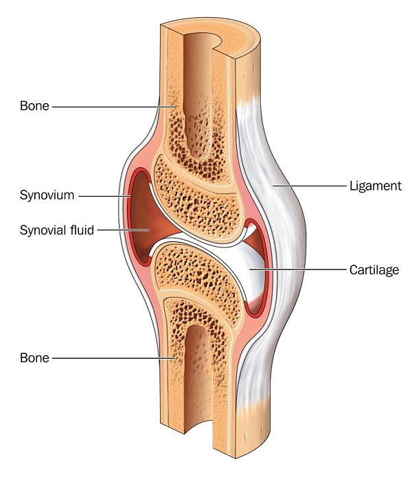 synovial lining
