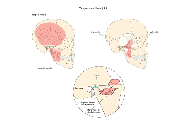 the temporomandibular joint
