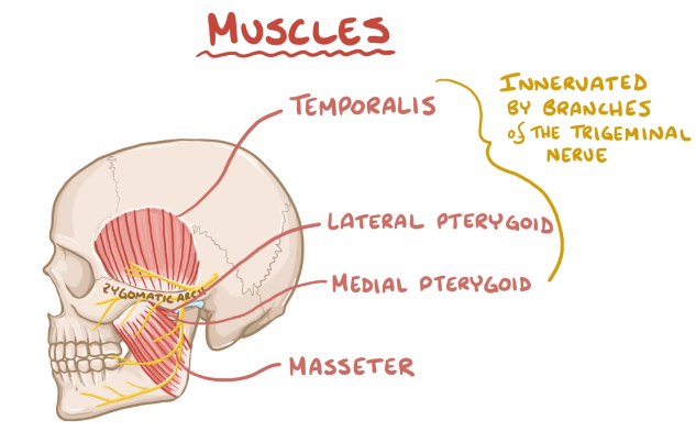 tmj muscles
