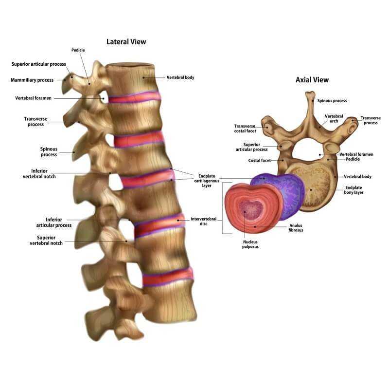 Skeleton Intervertebral disc