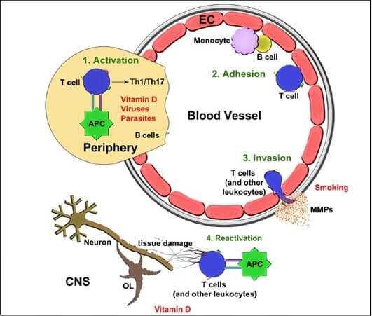 Steps in the immune pathogenesis of MS
