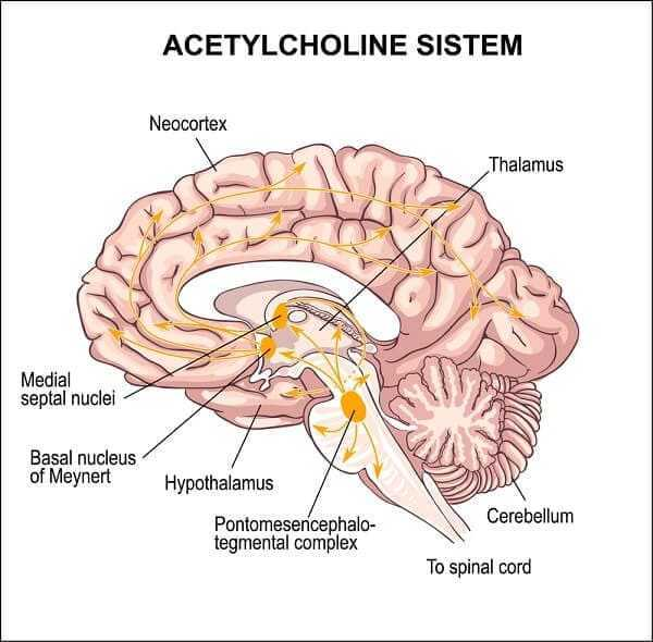 acetylcholine system