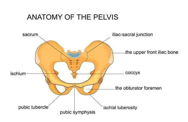 anatomy of te pelvis