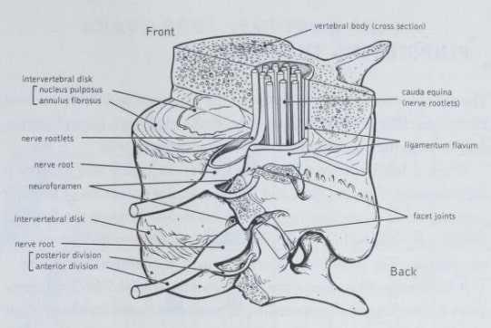 ligamentum flavum