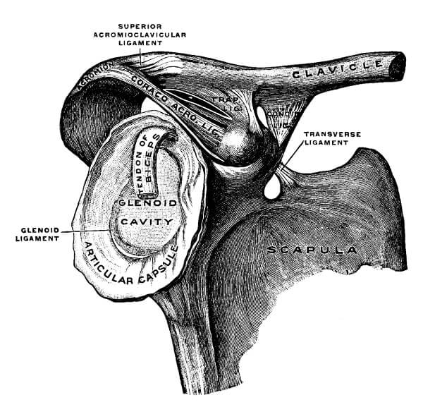 Clavicle and Scapula with Ligament