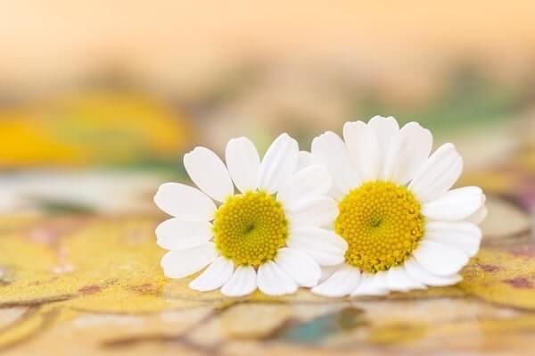 Feverfew for endometriosis