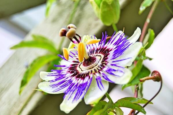 Passion flower for endometriosis